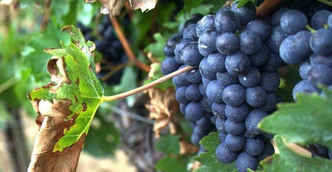 Сколько углеводов в винограде